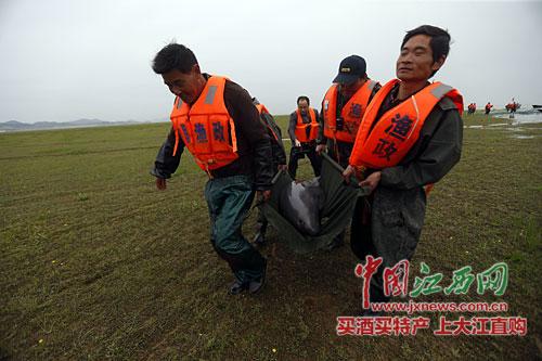 工作人员从鄱阳湖中捞上江豚送往网箱养护