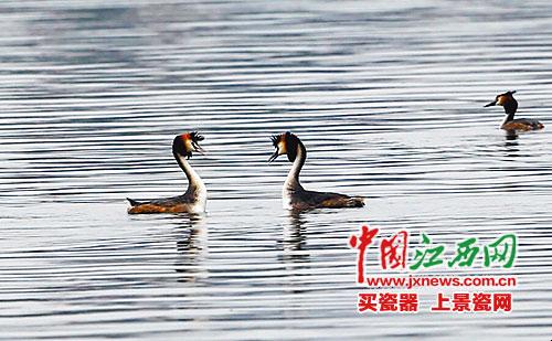 一群候鸟恋上水都南昌成留鸟