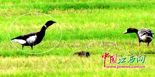 在都昌县马影湖区域监测到的黑雁(白色线圈所示)正行走在草滩上