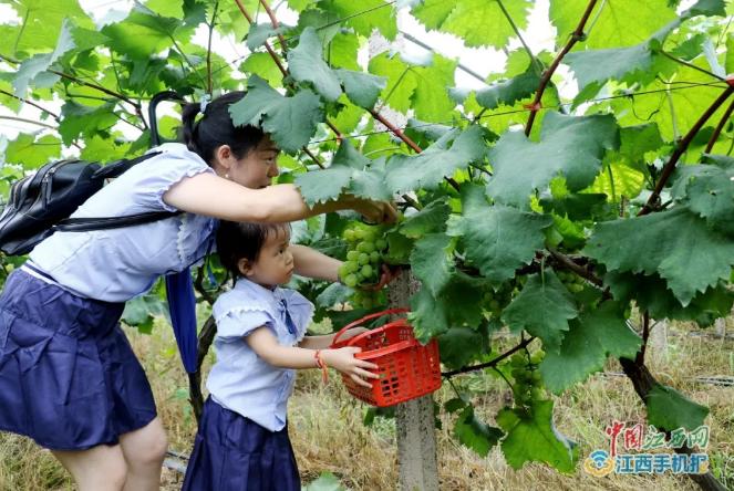 母女俩正在采摘葡萄(图片由吴德强 摄)